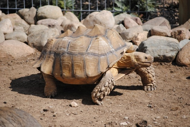 African Spurred/Sulcata Tortoise
